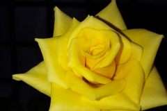 Blossoming-Rosa-xanthina-LindlYellow-Rose-Photo-creditDr.Hemanth-Kumar-BoyinaAnurag-University-Hyderabad-India