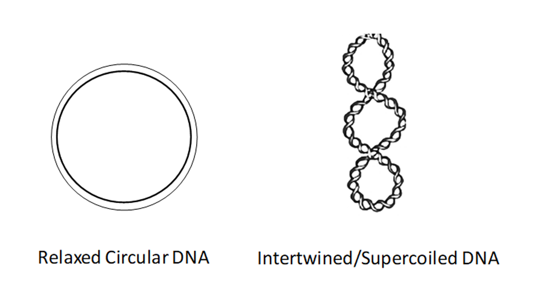 Relaxed circular or intertwined supercoiled DNA