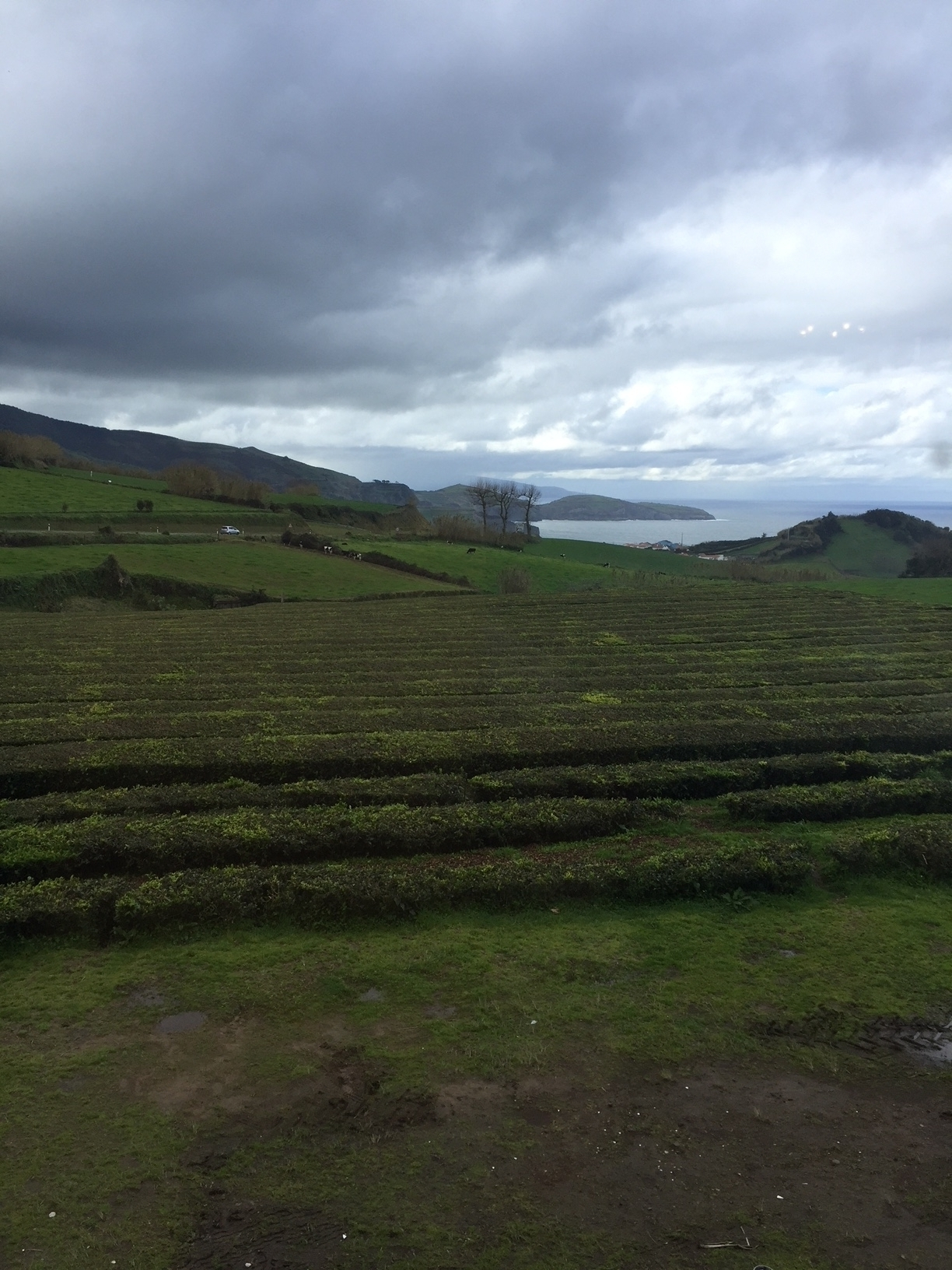 Tea (Camelia sinensis L.) plantation in Ribeira grande, São Miguel island (Azores, Portugal). One of the few tea plantations in Western Europe. Photo by Dr. Ana Sanches Silva.