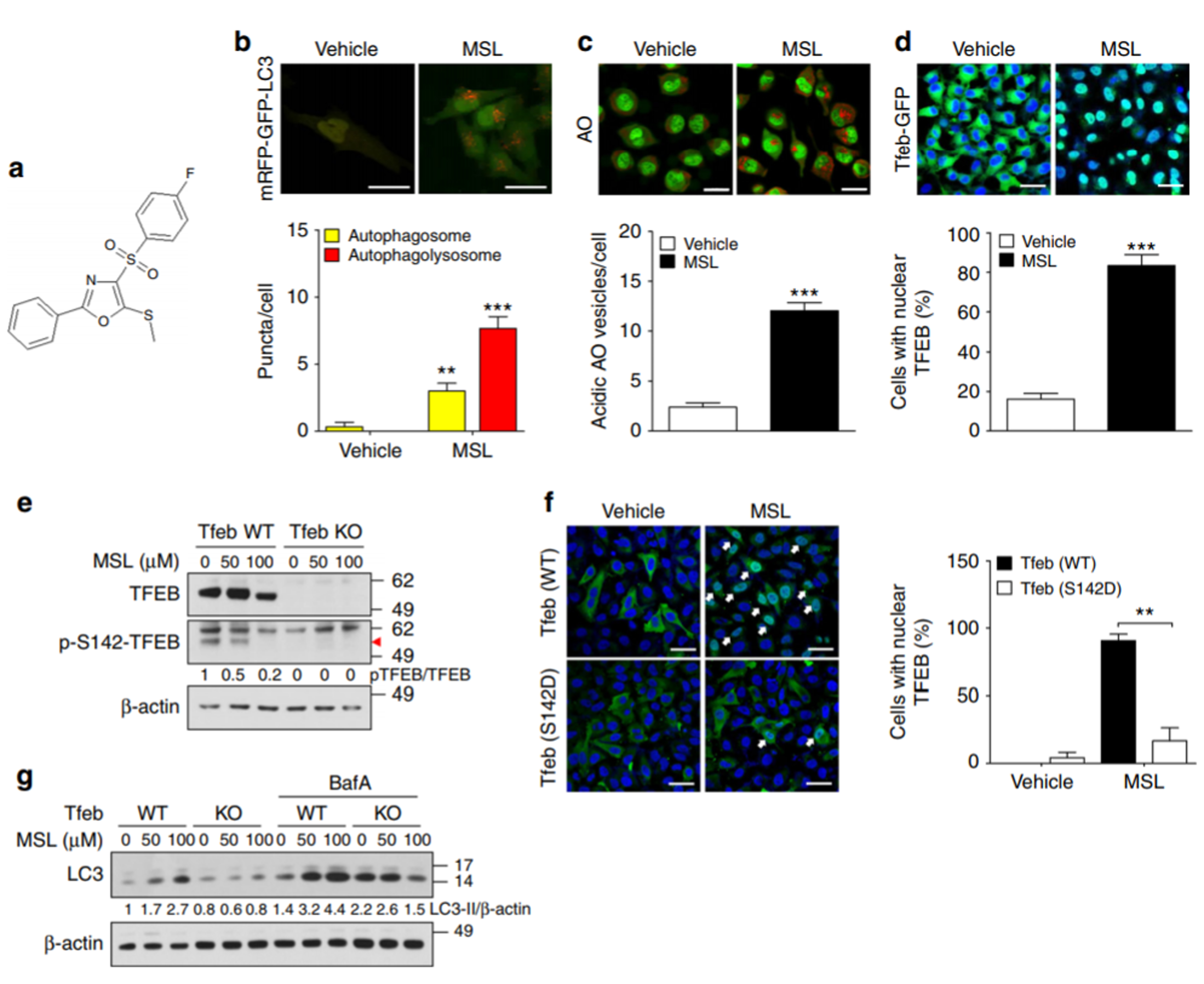 Novel autophagy enhancer; ob/ob mice; metabolic syndrome; A novel autophagy enhancer as a therapeutic agent against metabolic syndrome and diabetes