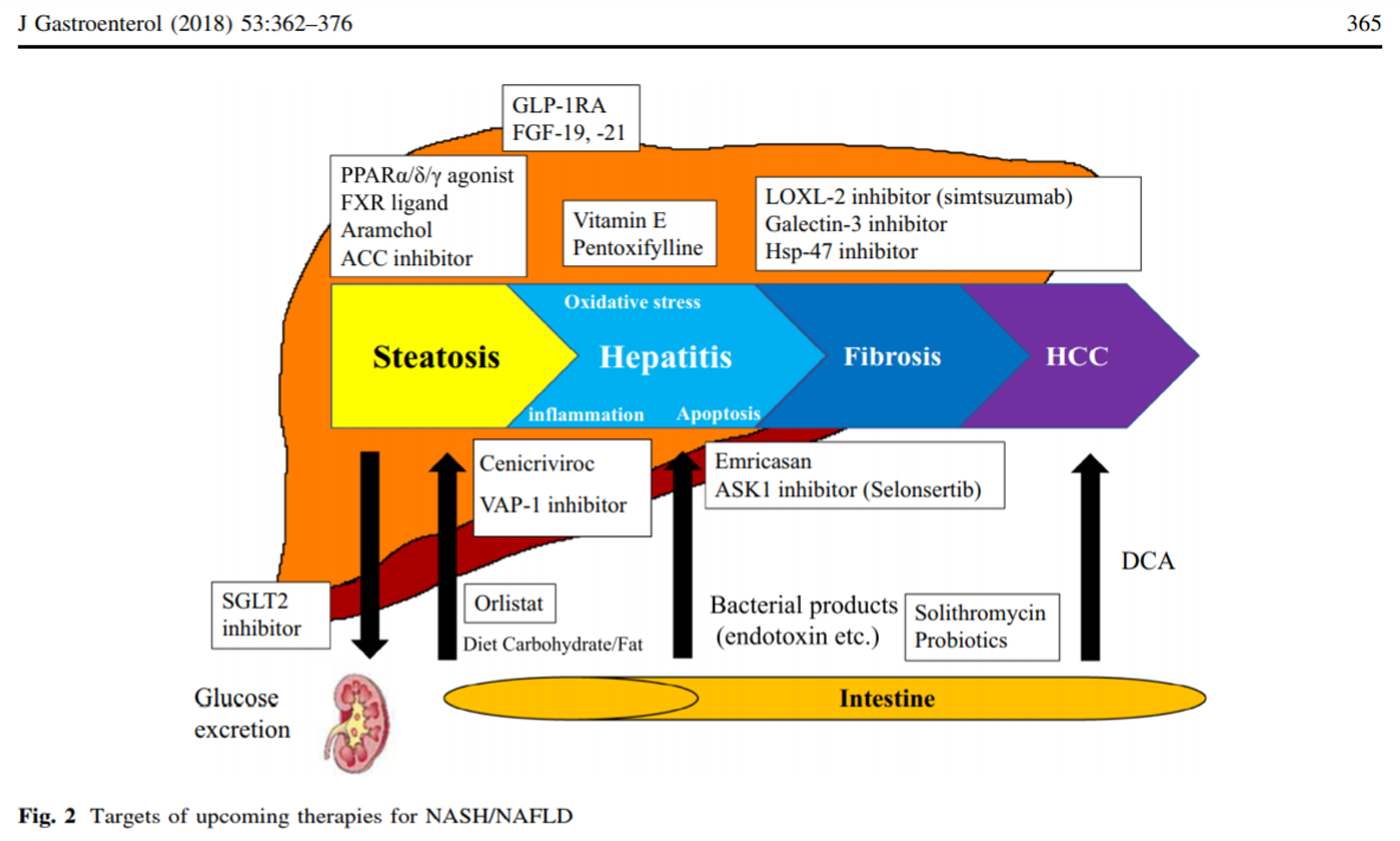 Cysteine-cysteine motif chemokine receptor-2/5 antagonist; Current and future pharmacological therapies for NAFLD NASH