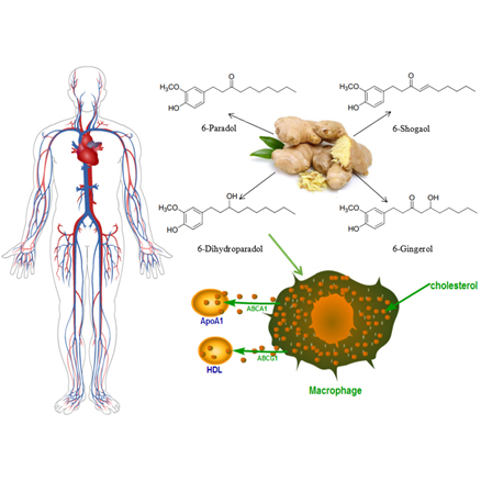 Possible antiatherogenic effects of the commonly used spice and flavoring agent, ginger