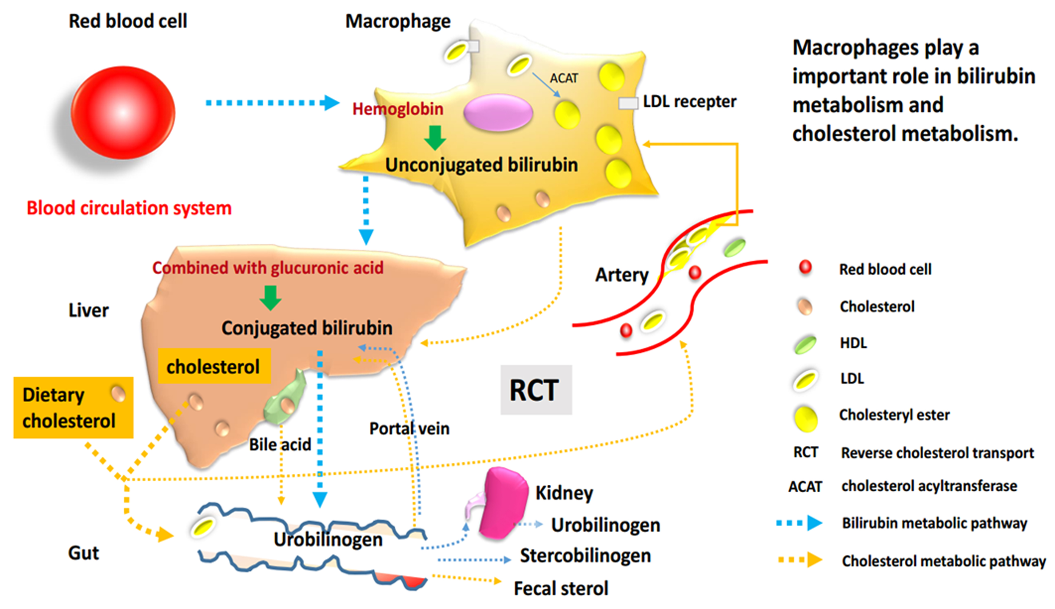 Macrophages essential cells for bilirubin metabolism and reverse transport of cholesterol with relevance for cardiovascular disease
