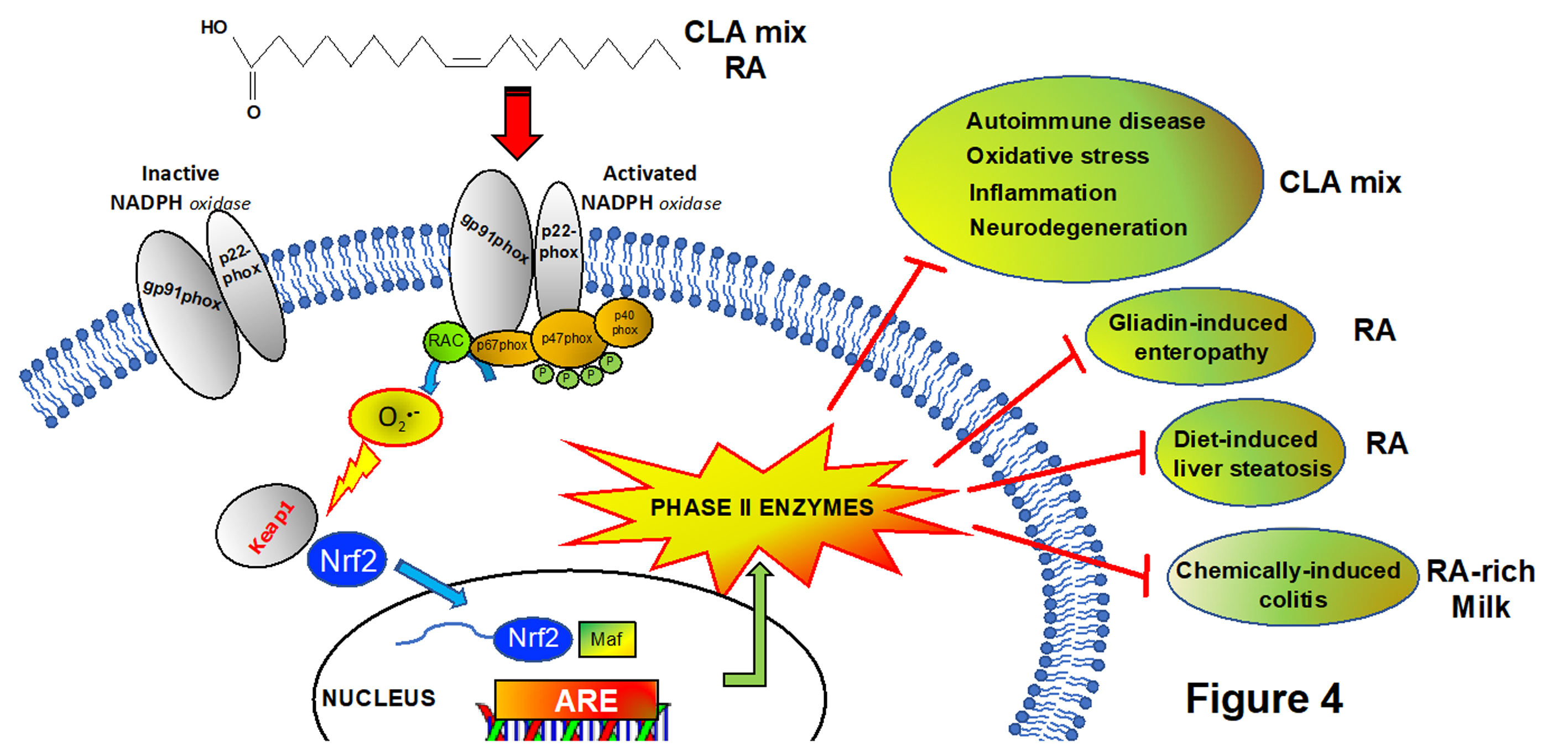 Adaptive response and cytoprotective properties of Conjugated linoleic acid CLA and Rumenic Acid RA