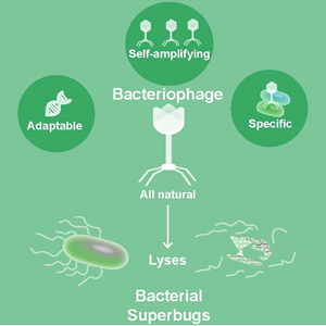 Phages have several advantages over antibiotics as treatments for bacterial 'superbugs.' Courtesy of Sabrina Green, Maresso lab.