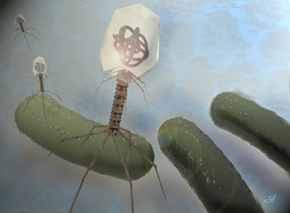 Bacteriophages can infect and kill antibiotic-resistant bacteria. Courtesy of Scott Holmes