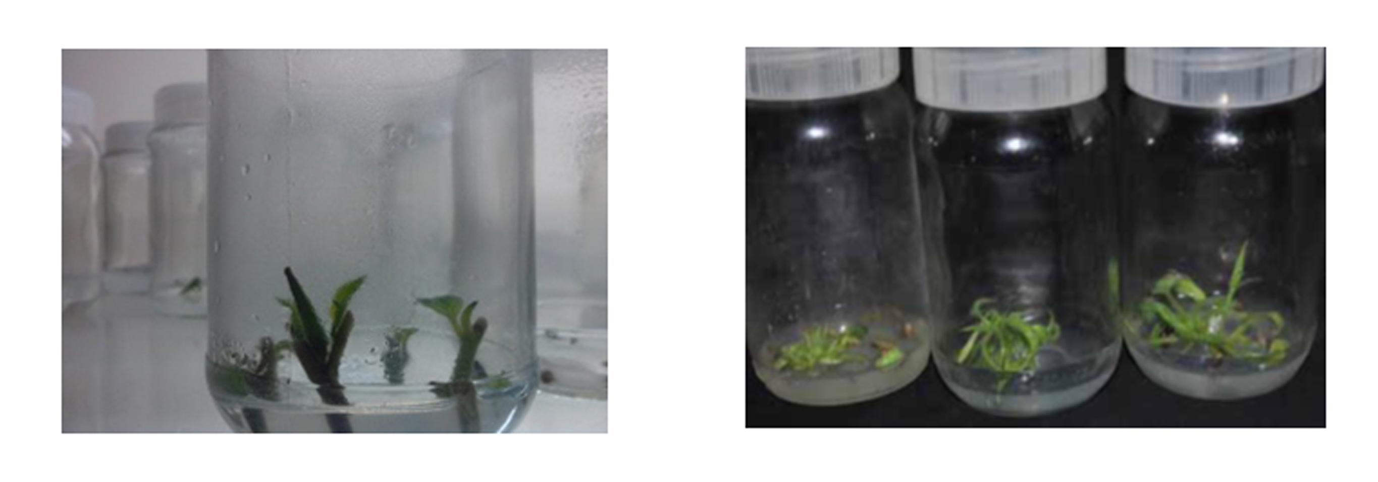 Figure 2: Cultured Plantlets of Lantana camara and Datura inoxia