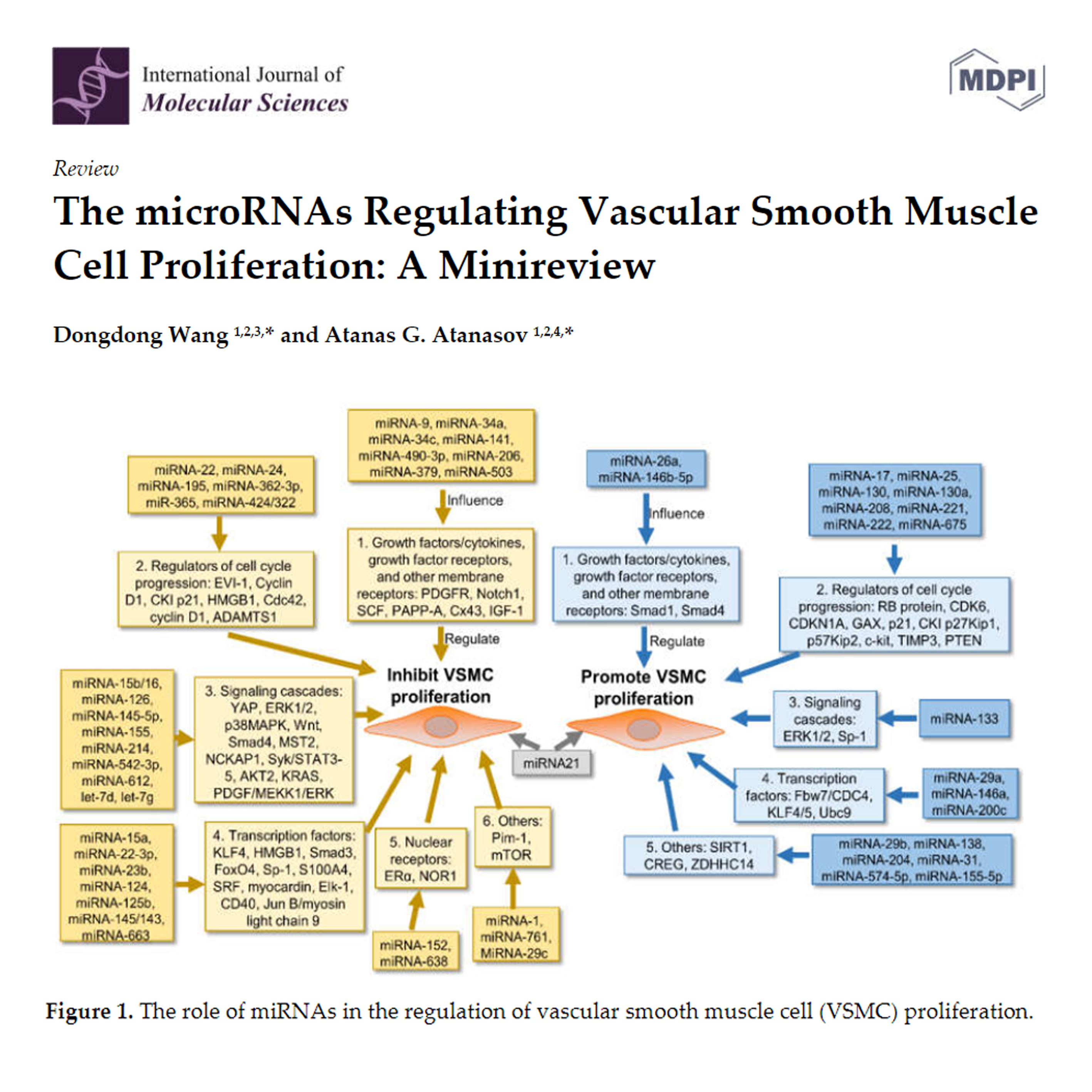 The microRNAs Regulating Vascular Smooth Muscle Cell Proliferation: A Minireview